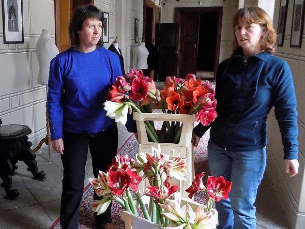 VELIKÉ a barevné květy amarylis budou mohou návštěvníci třeboňského zámku obdivovat již zítra, kdy bude zahájena výstava Amarylis a patchwork, kterou pomáhaly připravovat i Lída Haršová a Eva Bočáková. Květiny budou zámek zdobit přinejmenším do 17. dubna.