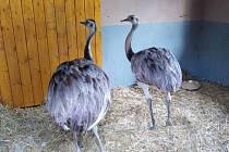 Pštrosy se pracovníkům ze Zooparku Na Hrádečku podařilo odchytit po třech hodinách.