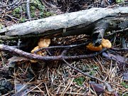 Na Jindřichohradecku začínají růst houby.