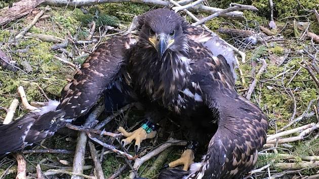 Jan Tylšar nalezl na jaře vypadlé mládě orla mořského. Foto: Jan Tylšar