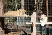 """""""Stát nestanovil jasná pravidla pro soukromé chovy lvů. Zvířata teď nesmí doplatit na lidskou neochotu domluvit se,"""" říká veterinář Otakar Nesnídal."""