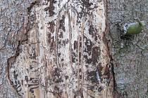 Detail napadeného stromu.