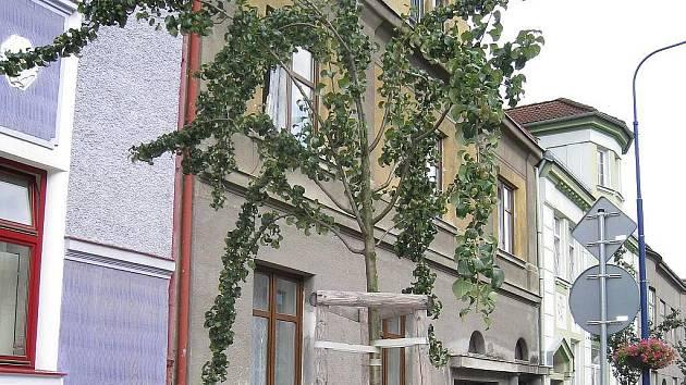 Ohnuté kmínky, rozklesávající a štíhlý tvar nedržící koruny hrušní v Nádražní ulici v Jindřichově Hradci.
