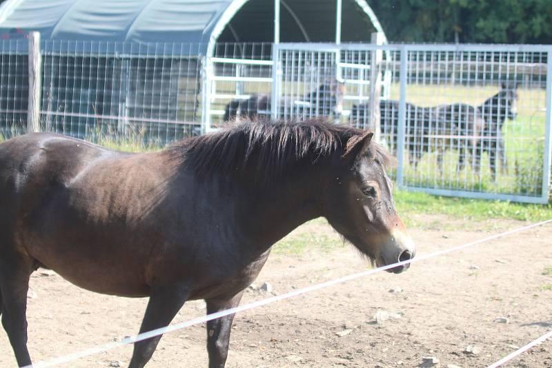 Divocí koně v meandrech Lužnice na Třeboňsku.