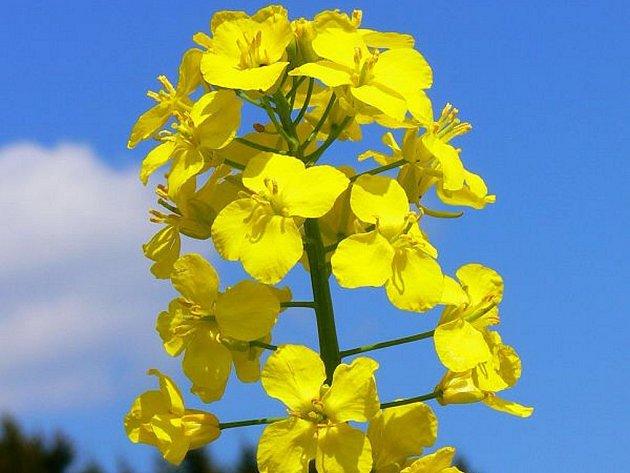 Řepka olejná v květu.