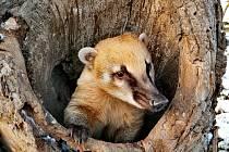 Nosál červený v pařezu v táborské zoo.