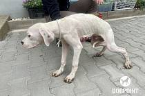 V malé obci na Jindřichohradecku došlo ve čtvrtek 1. července k odebrání 21 argentinských dog kvůli týrání. Psi žili v nevyhovujících podmínkách a byli podvyživení.
