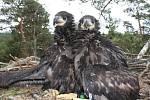 Kroužkování orla mořského na Jindřichohradecku.