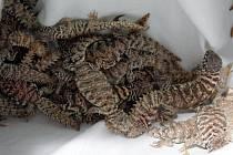 Zadržený náklad pašeráků v Českých Velenicích obsahoval chráněné zmije rohaté a trnorepy zdobené.