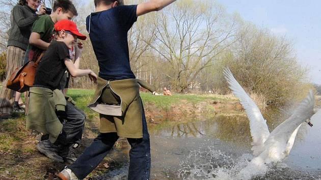Labuťák s poraněnou nohou byl v Třeboni znovu vypuštěn do přírody.