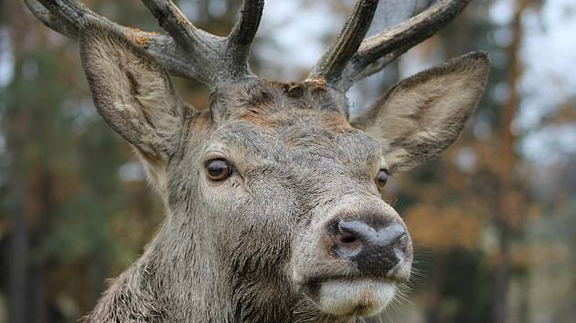 Myslivec František Novotný představuje jelena evropského