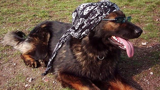 OCHRANA OČÍ.  Také domácí zvířata jsou vystavena vedrům. A třeba pro psy se již vyrábějí i sluneční brýle, i když tato čtyřnohá slečna to pojala v ležérním stylu.