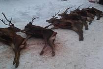 Pohled na jeleny, které neoprávněně ulovila pětice cizinců při lednové naháňce na Jindřichohradecku.