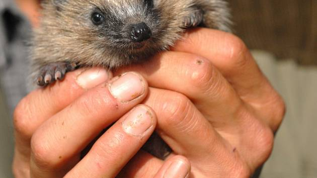 V zahradě může mít domov i ježek.
