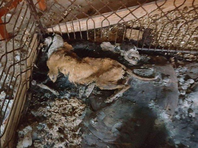 Pohled na jednoho ze psů, který úplně vyhublý umíral v kotci ve vlastních výkalech. Chovatelka z Dačicka byla obviněná z týrání psů.