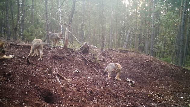 Vlčat na Třeboňsku může být podle snímků až pět. Program péče slouží k  ochraně této ... d39753b536