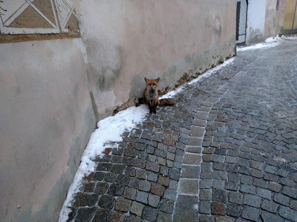 Lišku, která pobíhala kolem patnáctého poledníku, dokumentovali i přihlížející.