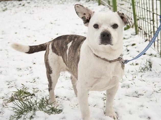Gripen - kříženec francouzského buldočka, pes, 9 let, kastrovaný. K lidem je hodný, ale umí být i tvrdohlavý. Na vodítku chodí hezky.