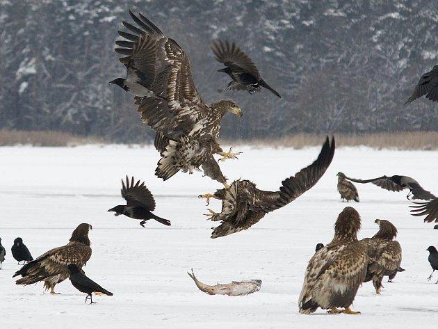 Orel mořský. V zimním období se orli často shromažďují v blízkosti zdrojů potravy, v tomto případě uhynulých ryb.