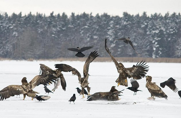 Na krmištích na Třeboňsku bylo možné vidět v roce 2009 až 25 orlů mořských, na snímku je jich několik z nich.