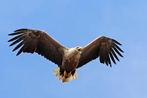 Zoologové odhadují, že na Třeboňsku hnízdí dvacet párů orla mořského.