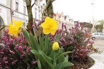 Ulice Třeboně jsou pokryty růžovým kvítím. Tulipány a další květiny zdobí i zahrádky v Mnichu či centrum Kardašovy Řečice.
