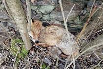 Nakaženou lišku prašivinou v Mertových sadech v Jindřichově Hradci museli usmrtit.
