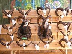 Výstava trofejí zvěře ulovené na Jindřichohradecku v roce 2008. Medailové trofeje muflonní zvěře.