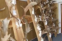 Výstava trofejí zvěře ulovené na Jindřichohradecku v roce 2008. Medailová trofej dančí zvěře nahoře, dole je shoz unikátního daňka, který uhynul v oboře v Nítovicích.