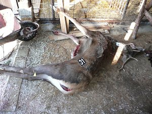 Neoprávněně ulovení jeleni