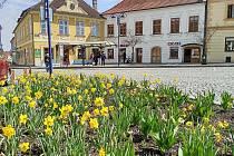 Kvetoucí narcisy na Masarykově náměstí v Jindřichově Hradci.