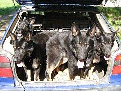 Psi v autě. Ilustrační foto.