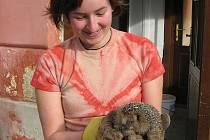 Několik ježků se tuto zimu těší z lidské péče v třeboňské záchranné stanici Českého nadačního fondu pro vydru. Na snímku je dobrovolnice Soňa Francová.