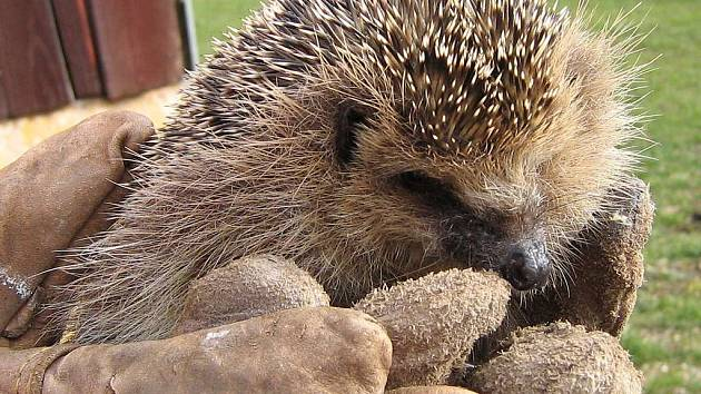 Několik ježků se tuto zimu těší z lidské péče v třeboňské záchranné stanici Českého nadačního fondu pro vydru.