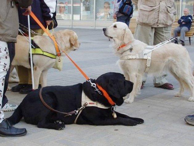 Slepecký pes. Ilustrační foto.