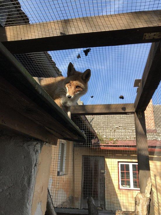 Lišák Áron si vás v Třeboňské záchranné stanici prohlédne pěkně zblízka.