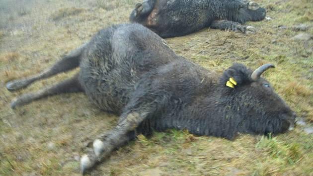 Smutný pohled se naskytl provozovatelům ranče na Českorudolecku, kde po silném poryvu větru spadly dráty dráty elektrického vedení na zem a proud zvířata usmrtil.