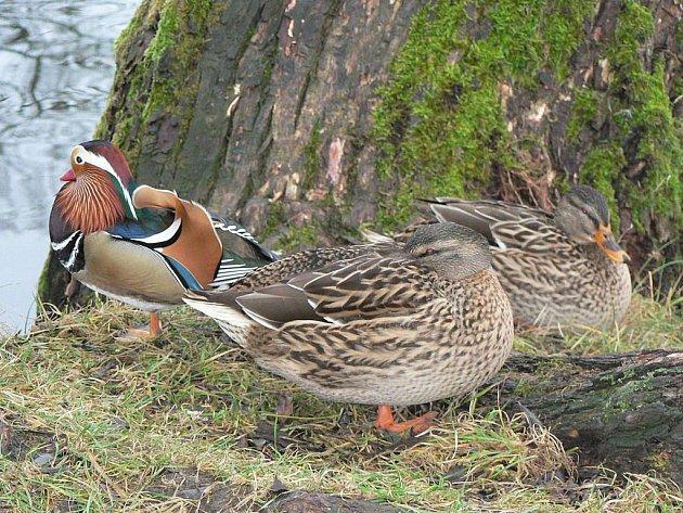 Lidé si už na kachny divoké na Strachovských rybnících v Pelhřimově zvykli. Pravidelně jim proto nosí něco dobrého k zakousnutí. Na rybníku se líbí i zajímavé kachně mandarínské.