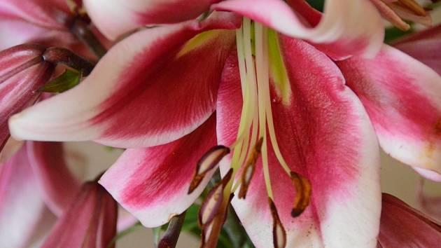 Lilie je právem spolu s růží označována za královnu zahrad. A právě lilie budou letos vévodit na Zahradě Vysočiny.