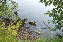 Kachny na rybníku Moučka musejí proplouvat mezi PET láhvemi a jinými odpadky.