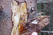 Chladnější a vlhké léto  přálo lesníkům. Kůrovcová kalamita díky počasí na Pelhřimovsku nenastala.