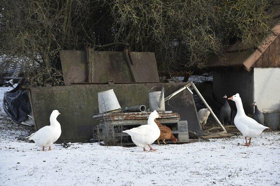 Ptačí chřipka se objevila na Vysočině. Ilustrační foto