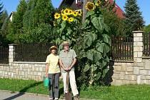 Slunečnice manželů Doležalových měřila úctyhodných 309 centimetrů