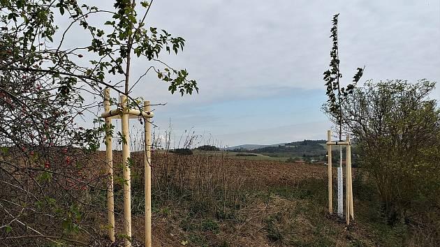 V aleji na Blatině roste 15 javorů a v ultramarince je dřevin přes sto