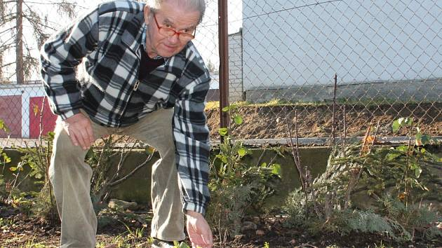 Petrklíče v těchto dnech rozkvetly v  Pelhřimově na zahradě rodiny Dohnalových.