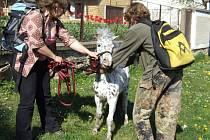 Zatímco obyvatelé chotěbuzského ústavu sociální péče bavili shromážděné před vykročením ochotnickou hrou Tygr ve škole, poník neměl pro jejich umění pochopení. Dva lidé měli co dělat, aby jej uhlídali.
