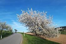 Rozkvetlý strom u silnice. Jarní počasí láká k vycházkám v okolí Pelhřimova