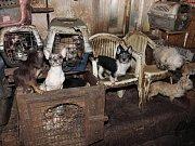 Muž a žena, kteří v centru Kamenice nad Lipou chovali přes dvě stě psů v otřesných podmínkách, jsou obviněni ze spáchání trestného činu.