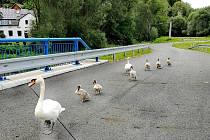 Labutí rodinka chodí na procházky pravidelně.