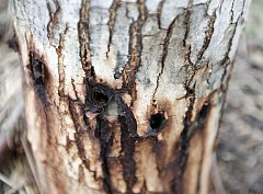 Trávení stromů není problémem jenom na Vysočině. Například v Holicích na Pardubicku navrtal pachatel po celém obvodu šest mladých ořešáků a napustil je jedovatou látkou